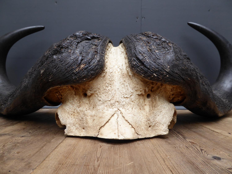 Huge Cape Bufallo Horns