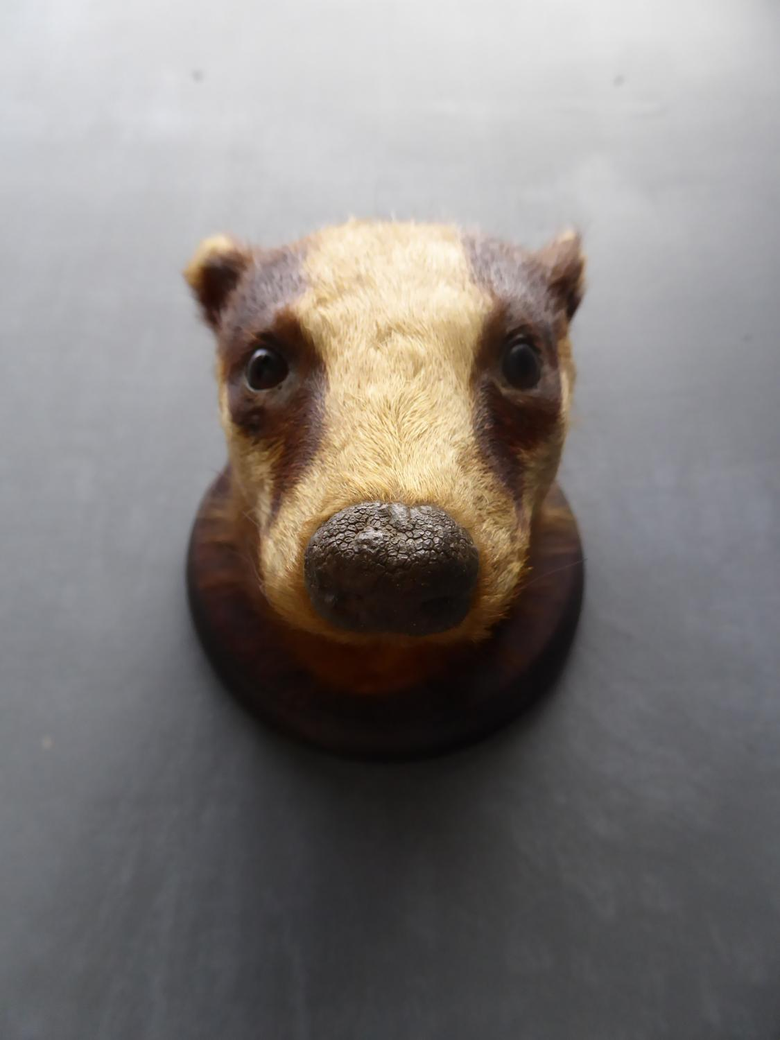Taxidermy Juvenile Badger Mask