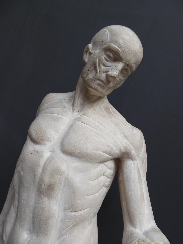 Plaster Anatomical Ecorche By D Brucciani