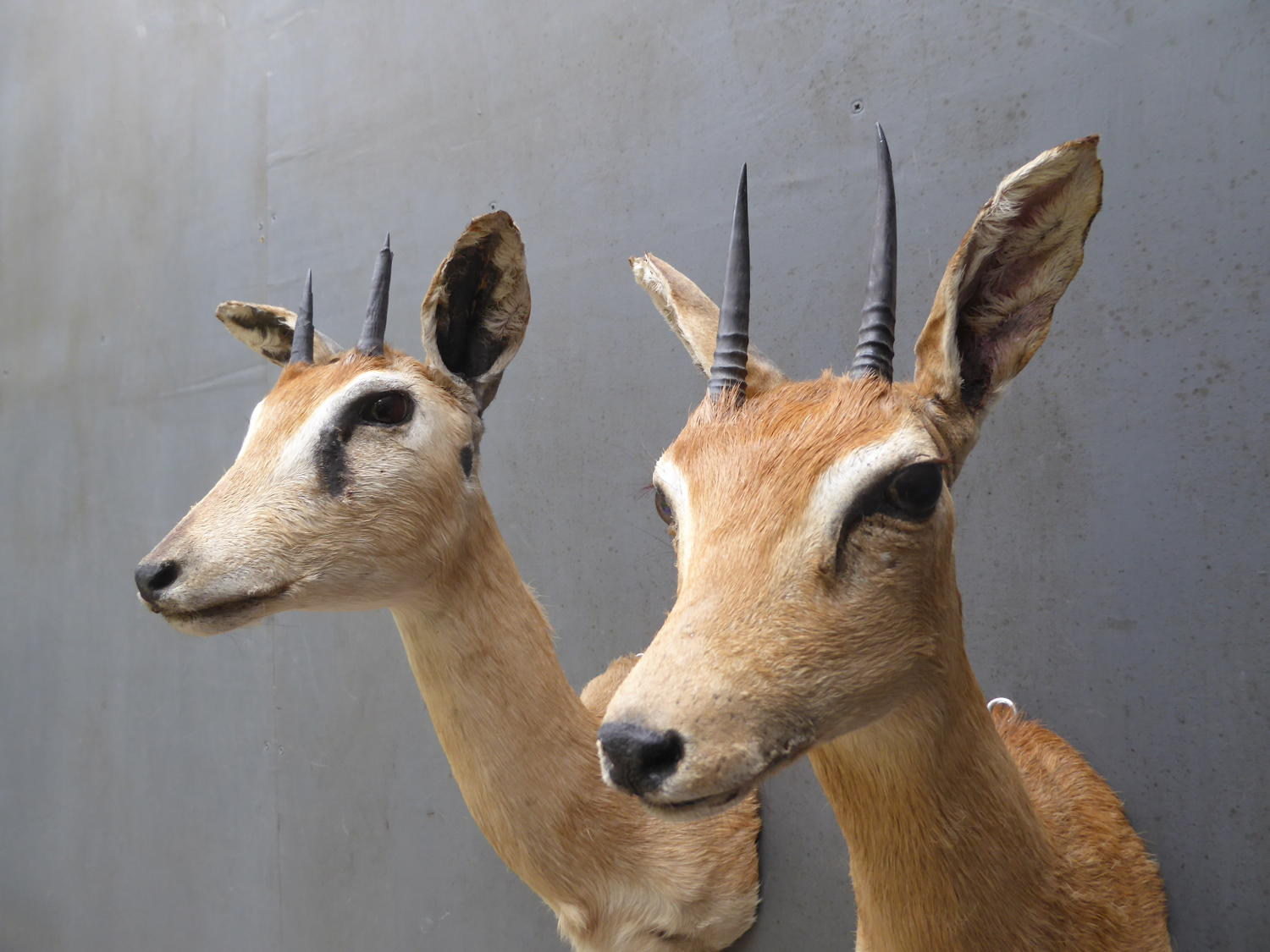 Taxidermy Oribi ~ Pair