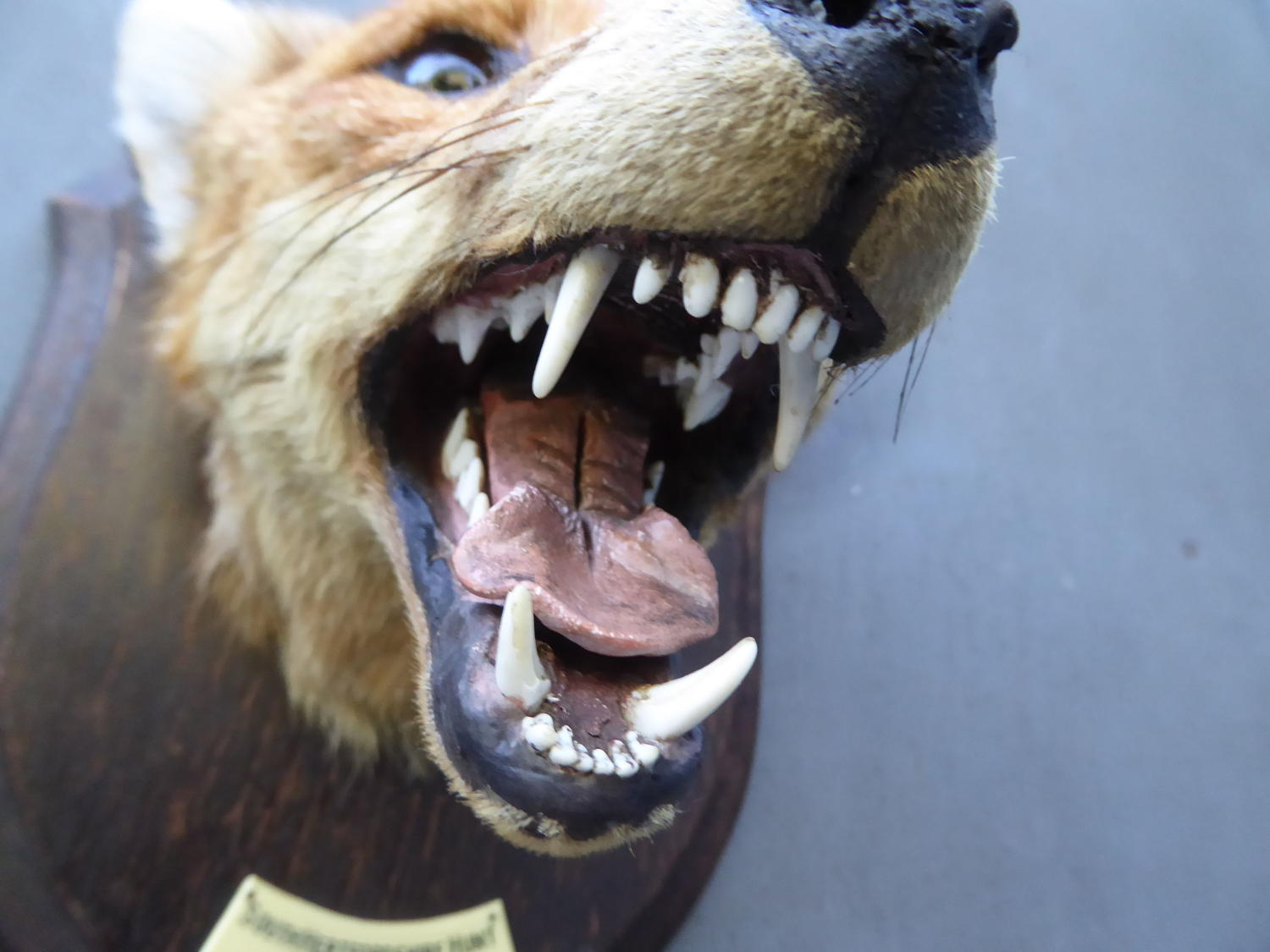 Rowland Ward Taxidermy Fox Mask
