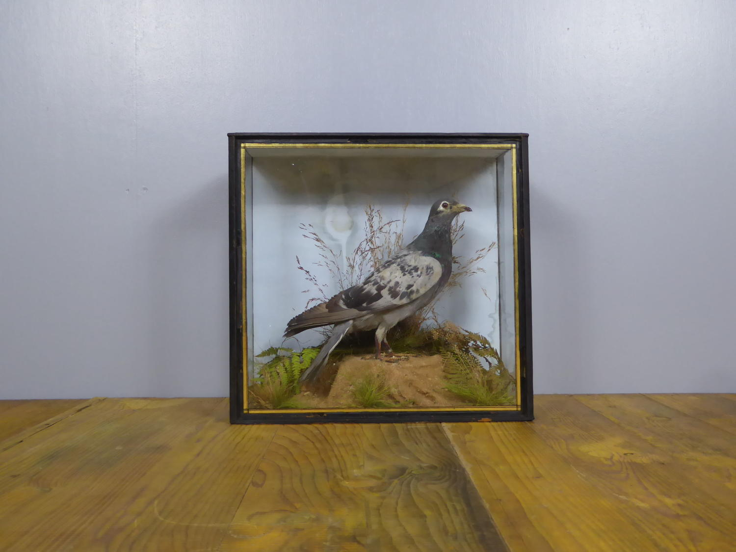 Victorian Taxidermy Racing Pigeon