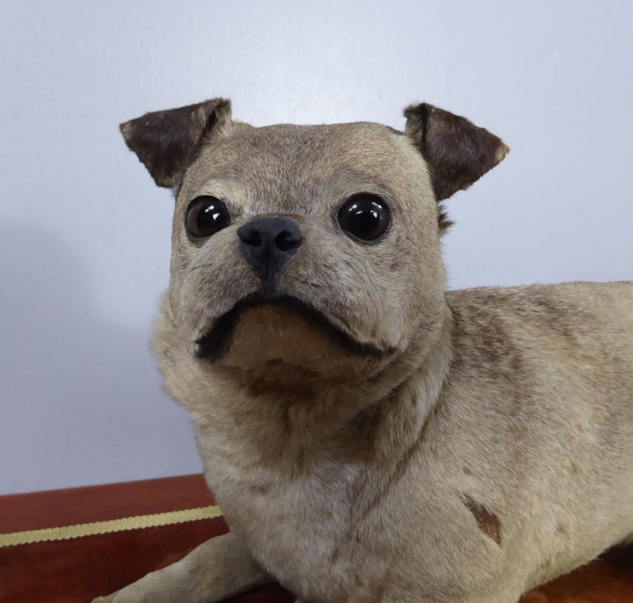 Victorian Taxidermy Pug