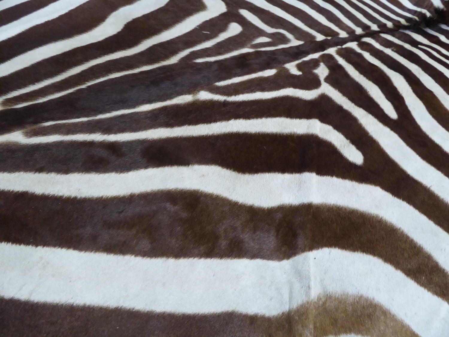 Large Taxidermy Zebra Hide Rug