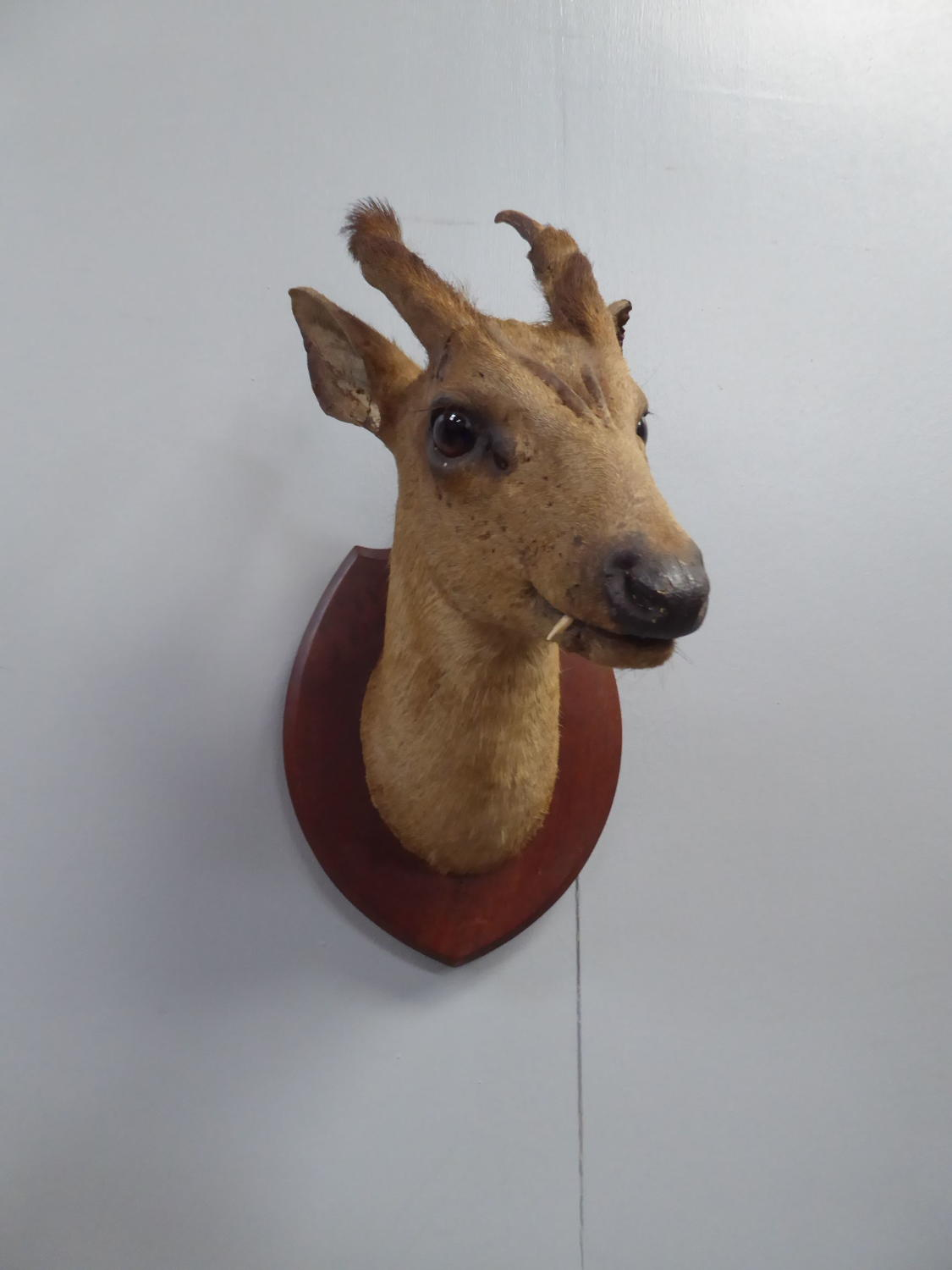 Taxidermy Muntjac By Theobald Bros of Mysore