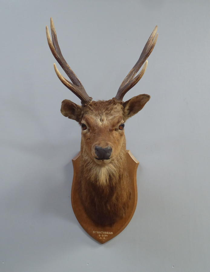 Taxidermy Highland Stag