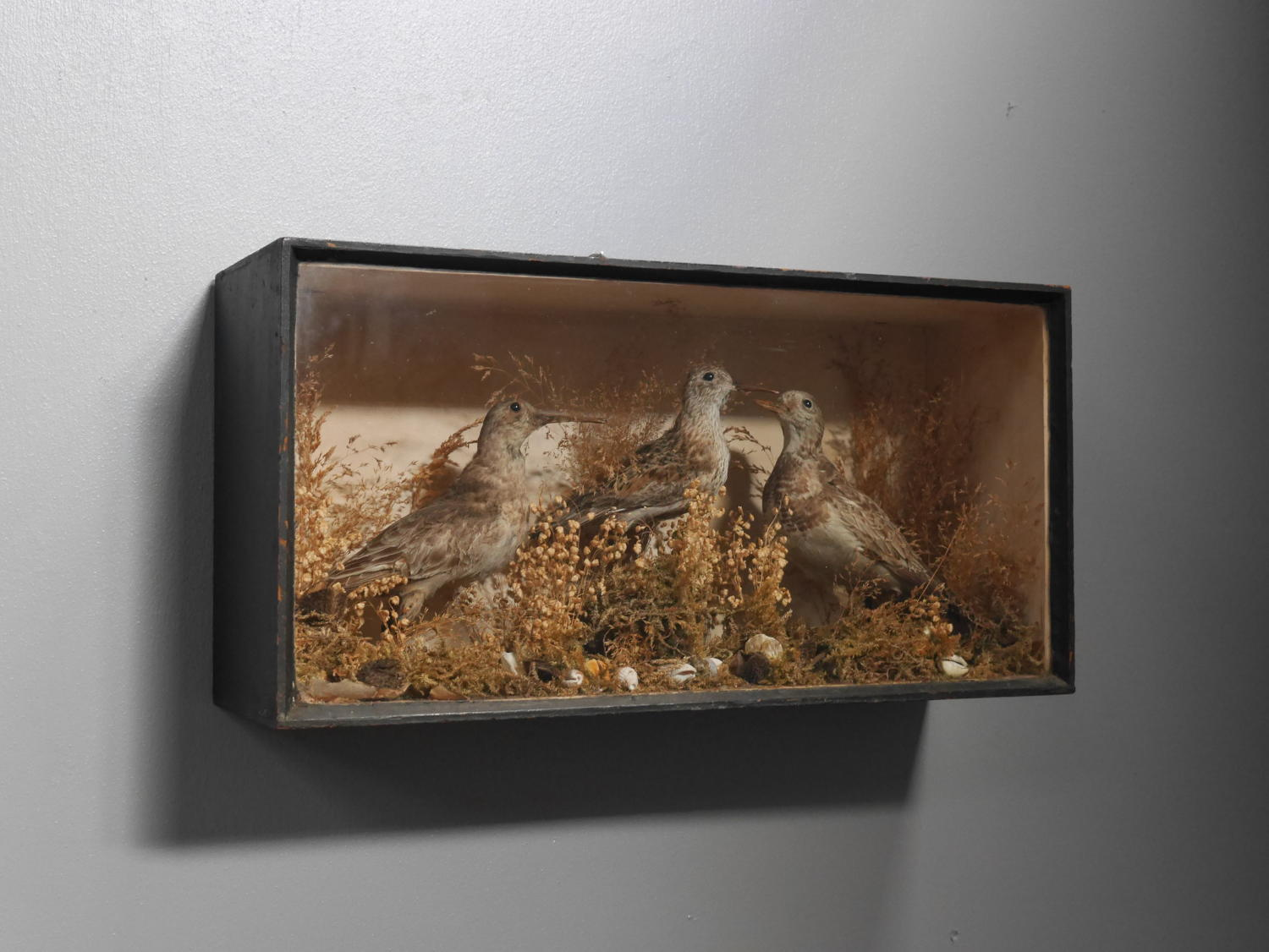 Victorian Taxidermy Sandpipers Diorama