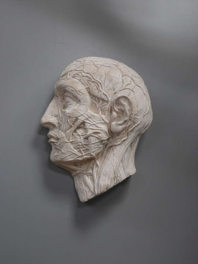 Plaster Anatomical Head ~ The Nervous System