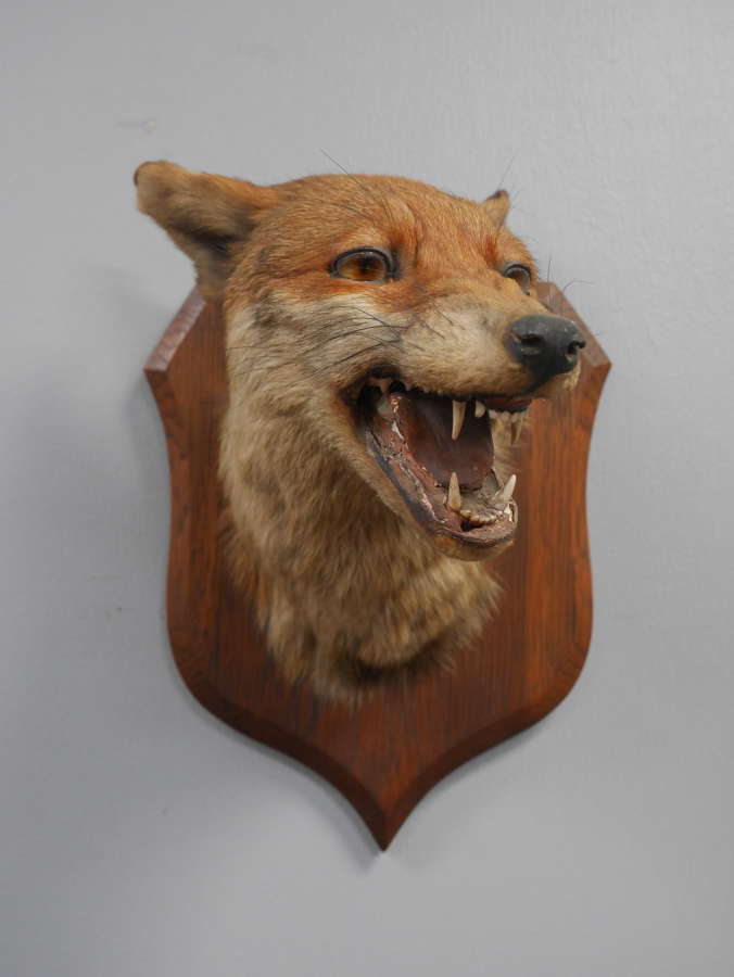 Taxidermy Fox by Peter Spicer